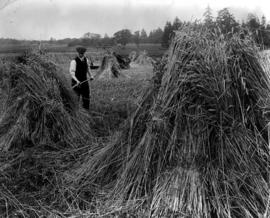 A field of wheat at Cedar Hill, near Victoria, on the farm of the Premier of British Columbia, th...