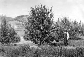 """Apples and [illegible] for Penticton""; man posed next to apple tree."