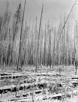 Burnt timber at Lower Nation Lake.