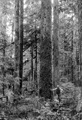 Forest Service; spruce and hemlock stand, Kennedy River.