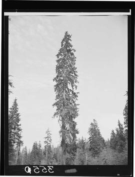 Sitka Spruce On Queen Charlotte Islands