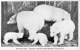 """Kermode's bear; exhibit in the Provincial Museum, Victoria, B.C"""