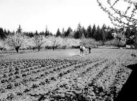 Cherry Orchard And Strawberry Patch, Saanich