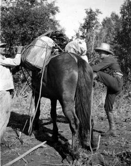 Cinching up a pack horse at Cayuse Creek during the exploratory survey for the V.W.N. & Yukon Railway.