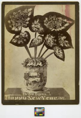 The 'Gem' Begonia. Happy New Year. 1892