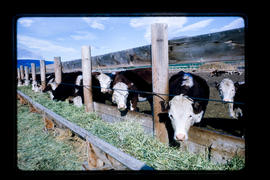 Cattle At Feed Trough, Cache Creek
