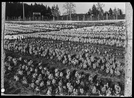 Holland Bulb Farm at Saanichton.