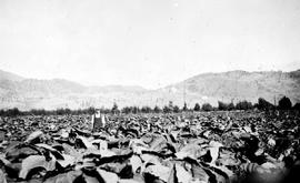 """Another tobacco field in the Oliver District""."