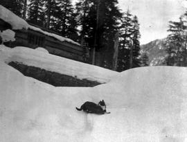 A housecat playing in the snow, Britannia mine camp.