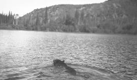 Bear swimming across Middle River.