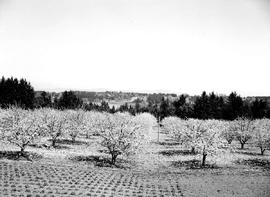 Cherry Orchard, Saanich