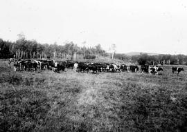 """A roundup of P. Burns cattle in the South Bulkley Valley""."