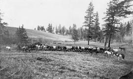 Pack Train Encamped On The Thompson River