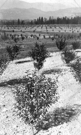 Orchards belonging to the Kelowna Land and Orchards Company.