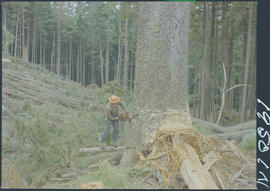Felling A 170 Ft Spruce Tree, Queen Charlotte Islands