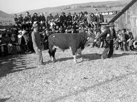 Cattle Sale At Williams Lake