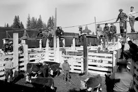 Cattle Sale At Quesnel