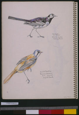 [Wagtail And Reedling]
