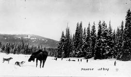 """Moose on the Ground-hog Range, Cassiar district; moose at bay with one of the dogs of the survey party seen in the distance""."