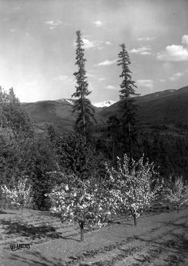 """Blossom time at Nelson in the Kootenays, BC.""; fruit trees with hills and mountain pea..."