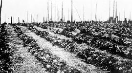 """Strawberry crop in bloom at Terrace, BC."""
