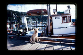 Dog On Dock, Queen Charlotte City Queen Charlotte Islands