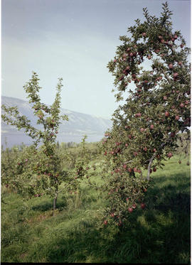 Apple Orchard Near Oyama