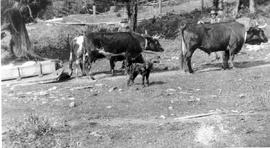 South Pender Island; Arthur Reed Spalding with his dog and oxen, John Ekholm with back yoke.