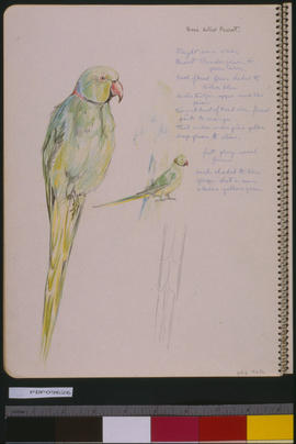 [Rose-Billed Parrot]