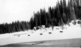 """Moose on the ground-hog range - Cassiar District. They decide to leave the Survey party but..."