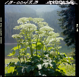 Cow Parsnip In Top Of The World Park
