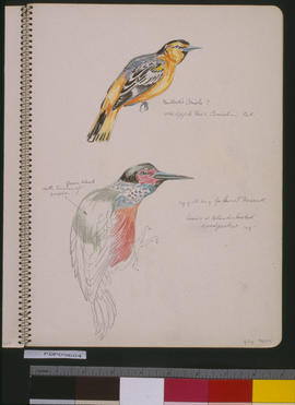 [Oriole And Woodpecker]