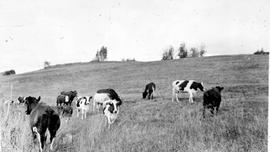 """Herd of Holsteins near Telkwa, BC."""
