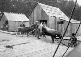 Two prize winning Jersey cows of [off] to the Victoria fair, from V.W. Menzies, Pender Island; th...