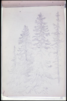 Sketch 2: Spruce Trees, Rogers Pass.