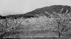 """A. Kerr and Sons, apple orchard, Terrace, BC."""