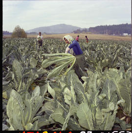 Cauliflower Harvest On Saanich Peninsula