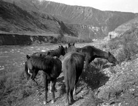Chilcotin River, horses on shore.