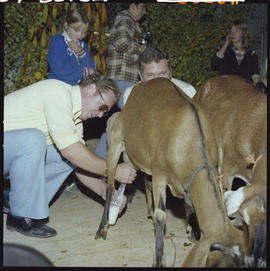 100 Mile House Fall Fair; milking goats.