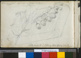 Wild fruits, Vancouver Island Colony, Salt Spring Island.