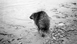 A porcupine at the shore of Adams Creek, Peace River.
