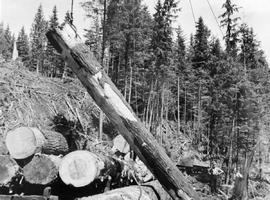 Logging in the Queen Charlotte Islands.