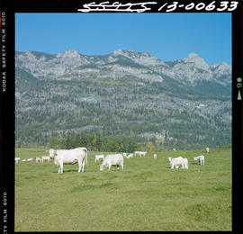 Charolais Cattle Range At Brisco