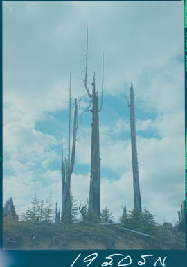 Dead Trees Queen Charlotte Islands