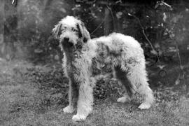 "One of Emily Carr's ""bobtail sheepdogs""."