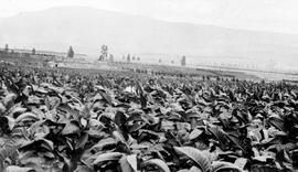 """A tobacco crop in the Oliver district, South Okanagan Irrigation Project""."