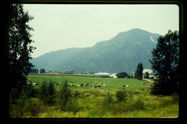 Dairy Farm Near Chilliwack