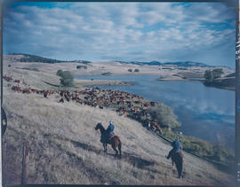 Cattle roundup, Douglas Lake Ranch