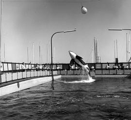 Killer Whale Show At Sealand, Victoria