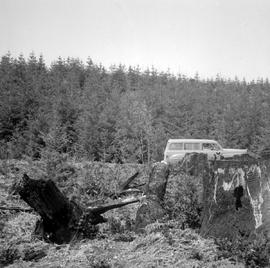1939 Planting And  Natural Regeneration Campbell River